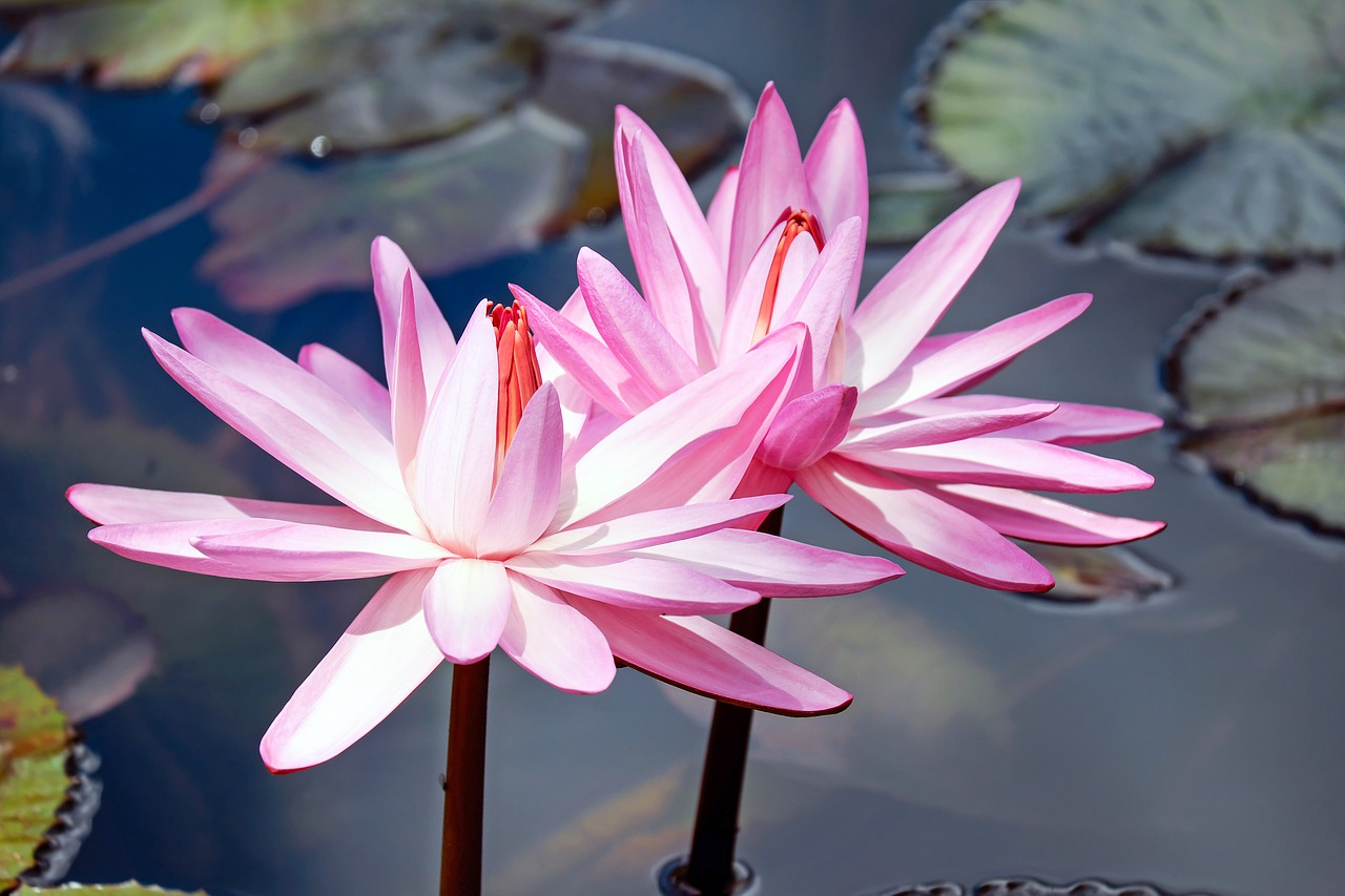 water-lilies-2327887_1280